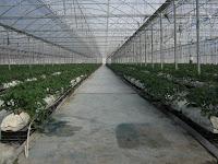 A evolução das culturas sem solo na Região Oeste