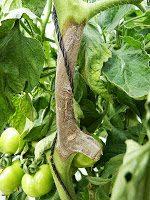 Prevenção e combate à podridão cinzenta (Botrytis cinerea) na cultura do tomate