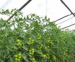 Sistema PF – Um novo sistema de condução para a cultura do Tomate