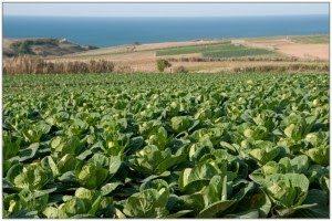 Estudo sobre a importância e as principais dificuldades ao nível da produção das culturas do tomate, abóbora e couves na Região Oeste