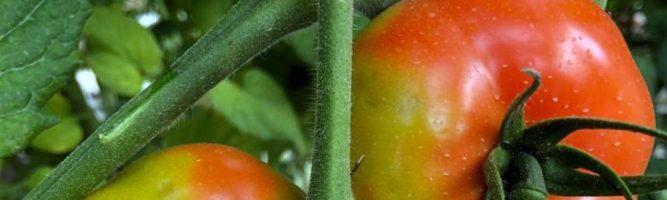 Regulamento Europeu estabelece medidas contra tomate rugoso
